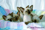 Gallery: Siamese - Picture: Kachelle Miss Pollywaffle's Kittens 