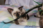 Gallery: Siamese - Picture: Kachelle Miss Pollywaffle's Kitten 