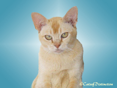Gallery: Available For Adoption - Picture: Red Burmese Queen: Firefly