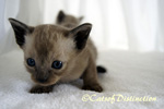 Gallery: Tonkinese - Picture: Gumnut's Kittens 