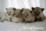Gallery: Burmese - Picture: Jellybean's Kittens 
