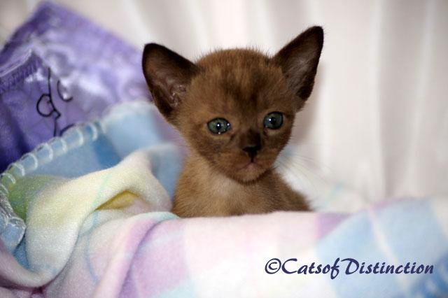 Australian Abyssinian Somali Cats Home Facebook
