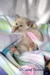 Gallery: Burmese - Picture: Pawsawhyl Eve's Kittens 