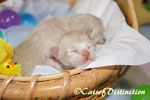 Gallery: Burmese - Picture: Pawsawhyl Freckles' Kittens 