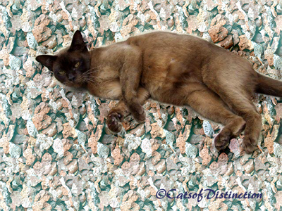 Gallery: Available For Adoption - Picture: Brown Burmese Queen: Pawsawhyl Gumnut Baby