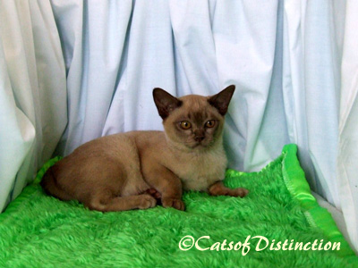 catsofdistinction.com.au - Future Chocolate Burmese Queen: Pawsawhyl How Sweet It Is