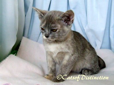 catsofdistinction.com.au - Future Blue Tortie Burmese Queen: Pawsawhyl Pebbles On The Sand