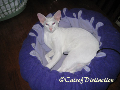 Gallery: Available For Adoption - Picture: Foreign White Queen: Kachelle Casablanca