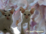 Gallery: Foreign White - Picture: Foreign White & Siamese Kittens 