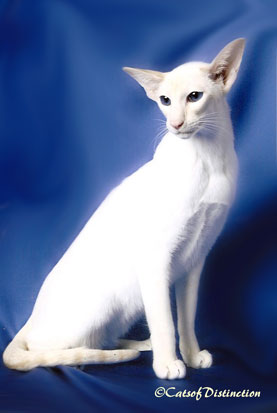 catsofdistinction.com.au - Foreign White Showcase: Kachelle Mr Jazzman
