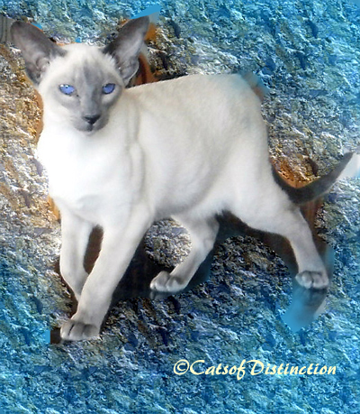 catsofdistinction.com.au - Blue Point Siamese Queen: Kachelle Glori Belle