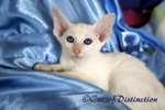 Gallery: Foreign White - Picture: Rivermeade Dancing Waters' Foreign White Kitten No 1