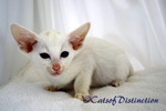 Gallery: Foreign White - Picture: Rivermeade Dancing Waters' Foreign White Kitten No 2