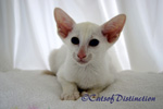 Gallery: Foreign White - Picture: Rivermeade Dancing Waters' Foreign White Kitten No 3