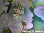 Gallery: Siamese - Picture: Rivermeade Dancing Waters' Kittens