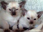 Gallery: Siamese - Picture: Kachelle Nick Nack's Kittens 